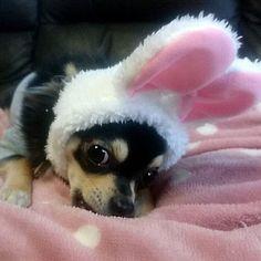 * 『僕もウサギさん🐰になったよ💝』 * 後れ馳せながら⏩ レオたんも🐰さんになっちゃいました💕 * またまたバタバタの日々で⤵ なかなかコメント返せなくて ごめんなさい🙇💦💦 * ⛄各地で雪のニュース❄ 心配してます😢⤵⤵ 皆さんも寒いので無理しないように してくださいね😿 * * #pawsforjolie #ガチャガチャ#流行り#うさぎ#rabbit#dog#犬#チワワ#チワワ部#ちわわ#ふわもこ部#ブラックタン#ロングコートチワワ#子犬#doglove#chihuahua#dogsofinstagram#愛犬#puppy#パピー#ペット#pet#instadog#followme#cute#love#pretty#likel4ike#Japan#follow