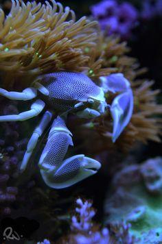 Mermaid's Dive: Under the Sea Porcelein crab Life Under The Sea, Under The Ocean, Sea And Ocean, Underwater Creatures, Underwater Life, Ocean Creatures, Beautiful Sea Creatures, Beautiful Ocean, Sea World