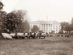 Most people do not know that sheep were used to graze on the white house lawn.