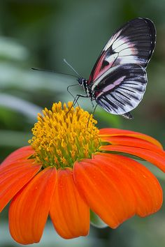 Piano Key Butterfly (Heliconius Melpomene) .........on a Tithonia - Mexican Sunflower.....
