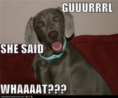 I Has A Hotdog - weimaraner - weimaraner Funny Animal Memes, Funny Dogs, Funny Animals, Cutest Animals, Weimaraner, Funny Dog Pictures, Grumpy Cat, Laughing So Hard, Laugh Out Loud