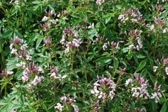 Proven Winners: Cleome  'Senorita Blanca™' for the back of the sunny border or a container