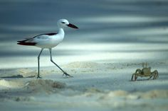 Crab plover (Photo by: Jeff Watson) http://cousinisland.net/discover