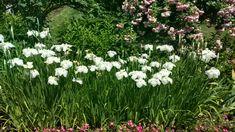Japanese Iris Old Westbury Gardens, Japanese Iris, Plants, Plant, Planets