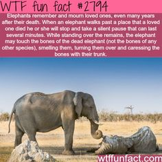 Elephants, the most emotional animales in the world -WTF fun facts