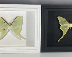 Argema mittrei male framed comet moth Madagascar | Etsy Giant Moth, Rosy Maple Moth, Moth Species, Habitat Destruction, Third World Countries, Acrylic Table, Monarch Butterfly, Beautiful Creatures