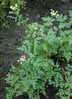 KINESISK KVANN / DONG QUAI - Angelica sinensis