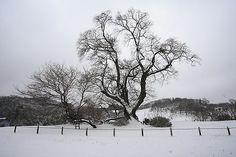 雪桜_塩ノ崎の大桜