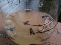 Six hornets caught when this photo was taken, a total of eight just before the wind blew over the trap... might be a good idea to hang it.