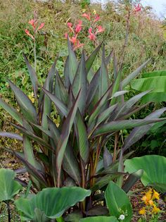 canna bird of paradise lillies - Google Search Tropical Landscaping, Tropical Plants, Front Yard Landscaping, Landscaping Ideas, Backyard Ideas, Garden Ideas, Green Garden, Garden Plants, Container Plants