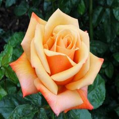 Rainbow Rose Seeds - Jala & Noor Internationally sourced Arabic and Islamic goods Rose Tattoos, Flower Tattoos, Rose Reference, Color Durazno, Rainbow Roses, Little Rose, Rose Pictures, Growing Roses, Orange Flowers