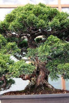 Sierra juniper (Juniperus occidentalis)