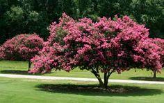 lagerstroemia indica (árbol de júpiter)