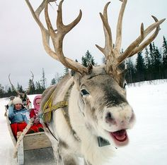 Another adorable reindeer. GG & her editor would love to go on a sleigh ride (if the reindeer don't mind). (Photograph by John the Finn ) . Animals And Pets, Baby Animals, Funny Animals, Cute Animals, Beautiful Creatures, Animals Beautiful, Reindeer And Sleigh, Real Reindeer, Reindeer Games