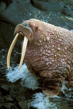 I love walrusssssss.
