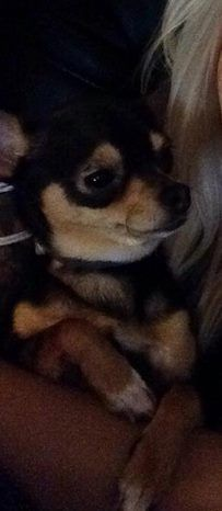 >> Norwich, CT - Lost Black w/Tan Dog Norwich Academy area. This is Khole. She is a Teacup Chihuahua. She has been missing since 12:30 this afternoon, 8/29. Last seen on Washington St. Be on the lookout for this missing girl and help get her back home and safe. Please contact Jacylyn (401) 332-0361, or Billy (860) 705-2861 https://www.facebook.com/CT.Lost.Pets/posts/751325361656008