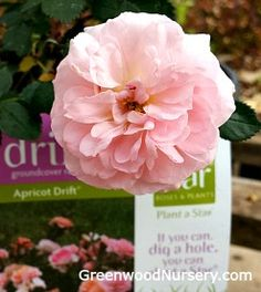 Apricot Drift® Rose Ground Cover Roses