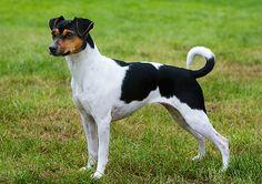 Brazilian Terrier / Terrier Brasileiro / Fox Paulistinha