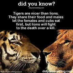 tigers and lions