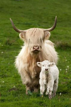 Pretty blonde Highland cow and her fluffy calf. Cute Baby Cow, Baby Cows, Cute Cows, Baby Elephants, Scottish Highland Cow, Highland Cattle, Farm Animals, Animals And Pets, Funny Animals