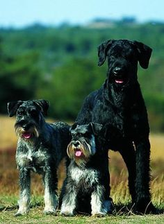 Schnauzer - all 3 varieties: (from left) Standard, Miniature and Giant...I want to own all 3 someday!