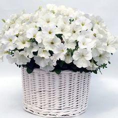 Gioconda White petunia seeds - Garden Seeds - Annual Flower Seeds
