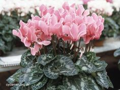 Plants cyclamen variety