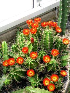 Cacti And Succulents, Planting Succulents, Planting Flowers, Cactus Pictures, Cactus Y Suculentas, Exotic Plants, Cactus Flower, Planting Seeds, Trees To Plant
