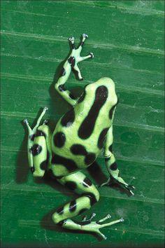 green poison dart frog www.boneyardbakery.net