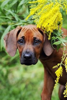 Head Shot Of Rhodesian Ridgeback Puppy By Yellow Blossoms