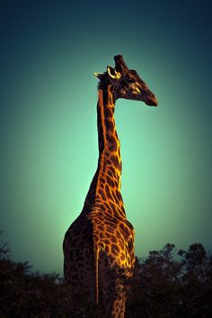 Giraffe | by Michael Muller