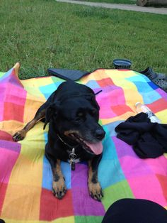Charlie  mix of Dash hound. Beagle and Danish swedish farmer dog | Pawshake