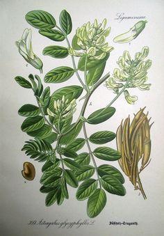 1905 LIQUORICE SUESSHOLZ Blume Pflanze Sweet