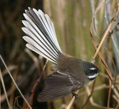 Fantail In Maori mythology the piwakawaka is a messenger, bringing death or… Beautiful Birds, Animals Beautiful, Tui Bird, Maori Legends, New Zealand Tattoo, New Zealand Houses, Maori Art, Maori Symbols, Exotic Birds