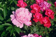 Here's a beautiful yet deadly combination of knockout shrub roses and peonies.