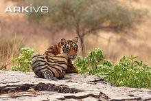 Bengal tiger, posterior view