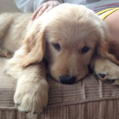 if you don't like golden retrievers, you are heartless.... LOOK AT THAT FACE!