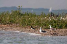 Vogelgriep op vogeleiland De Kreupel in het IJsselmeer