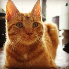 Marmalade being photogenic one of three cats in our home   cats funny pictures