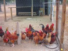 Raising Chickens for Dummies - First Time Chicken Owner Tips