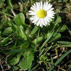 Sedmikráska chudobka (Bellis perennis), je vytrvalá léčivá rostlina z čeledi hvězdnicovitých