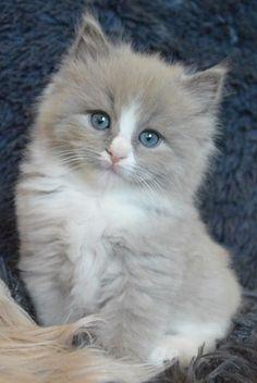 I WANT THIS KITTEN!   ❤️❤️❤️ Rag doll ?