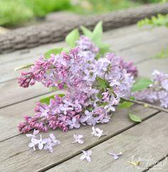 Purple lilacs in spring