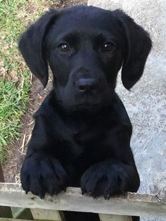Mind Blowing Facts About Labrador Retrievers And Ideas. Amazing Facts About Labrador Retrievers And Ideas. Black Lab Puppies, Cute Puppies, Cute Dogs, Beautiful Dogs, Animals Beautiful, Cute Baby Animals, Funny Animals, Homeless Dogs, Labrador Retriever Dog