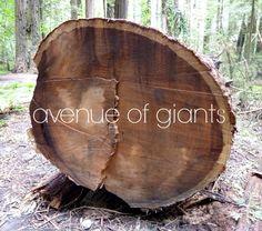 avenue of giants + redwoods