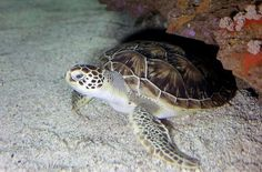 Olive Ridley, Tortoise, Creatures, Sea Turtles, Oceans, Animals, School, Nature, Animais