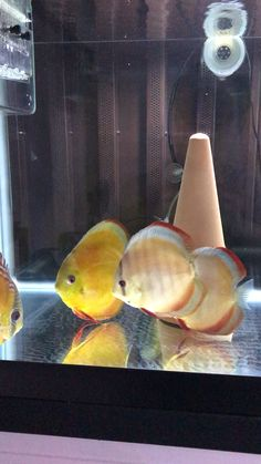 Discus Fish, Water Life, Freshwater Aquarium, Fresh Water, Salt, Pets