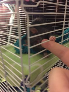 She always has to smell my hands when i get home. #aww #cute #rat #cuterats #ratsofpinterest #cuddle #fluffy #animals #pets #bestfriend #ittssofluffy #boopthesnoot