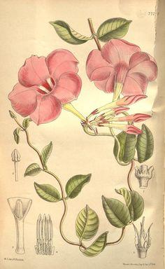 Dipladendia (Natif du Brésil)V.126 [ser.3: v.56] (1900) - le magazine botanique de Curtis. - Biodiversity Heritage Library