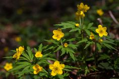Anemone ranunculoides - Poland, In the beech forest